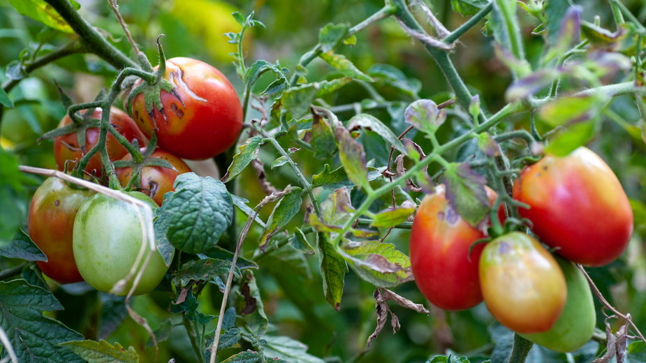 Choroby pomidorów mogą zniszczyć całe uprawy - mironovm/stock.adobe.com