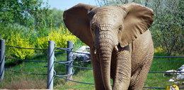 Weekend w zoo poświęcony słoniom