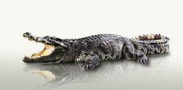 Tajemnicze znalezisko w żołądku 5-metrowego krokodyla