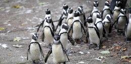 W krakowskim ZOO będą pingwiny