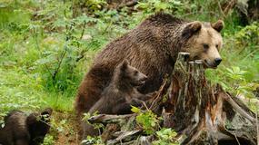 Jak i gdzie bezpiecznie fotografować niedźwiedzie - radzi Grzegorz Leśniewski