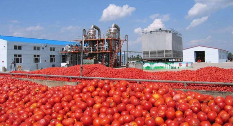 Dangote Tomato Processing Factory in Kano (businesshilights)