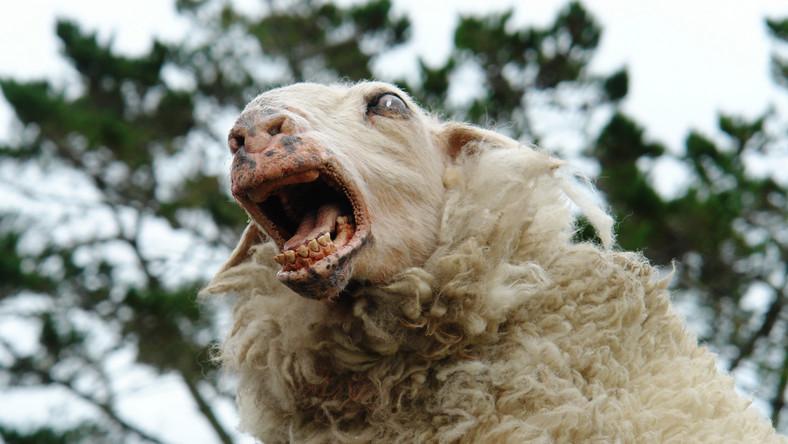 """""""Czarna owca"""" - horror i groteska w jednym"""