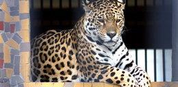 Jaguar grasował w Łoweczu. Zabili go!
