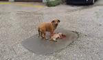 DA PUKNE I NAJTVRĐE SRCE Majka pokušavala satima da oživi štene, koje je pregazio auto u Kraljevu (VIDEO)