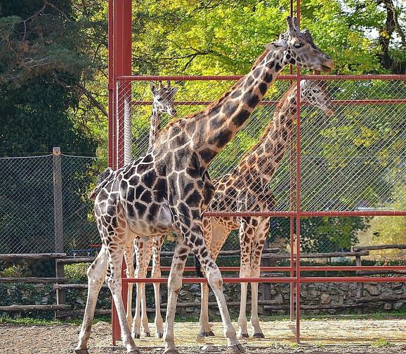 Dve nove žirafe sa starosedeocem Nikom
