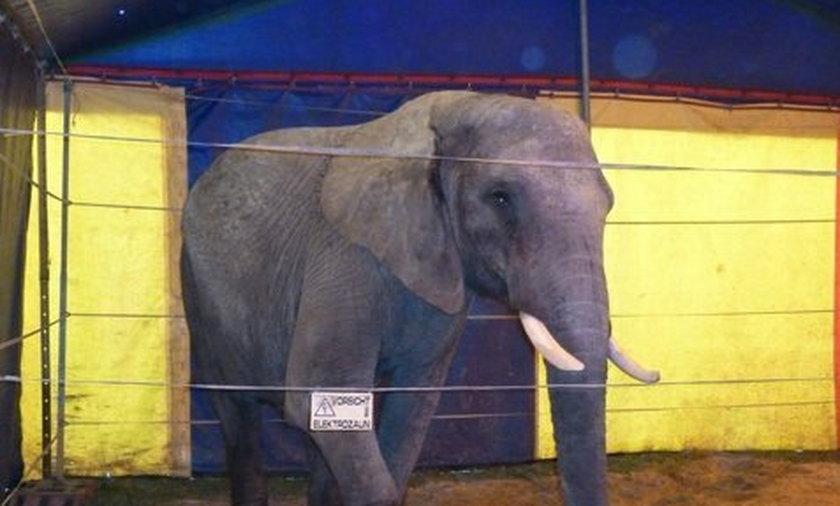 Ta słonica uciekła z cyrku i zabiła mężczyznę