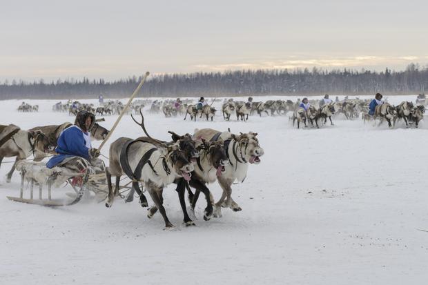 Wyścigi Nieńców, hodowców reniferów, podczas ich święta narodowego