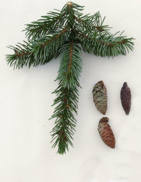 Svako pojedinačno stablo Pančićeve omorike je pod zaštitom