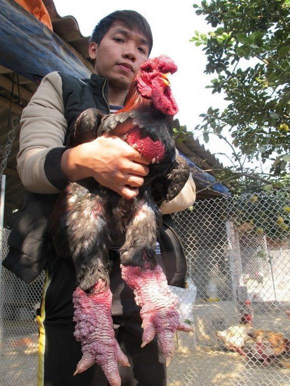 Debele noge otežavaju nošenje jaja, pa farmeri moraju da poklone dodatnu pažnju ovim kokoškama, što se odražava i na cenu