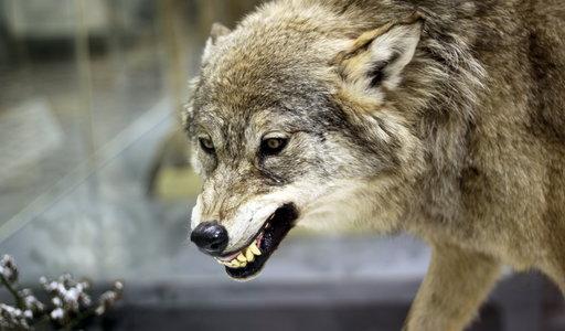 Horror pod Rzeszowem. Wilki zaatakowały młodego psa. Wyciągnęły go z budy i zaciągnęły do lasu. Rolnik opowiada, co zobaczył między drzewami