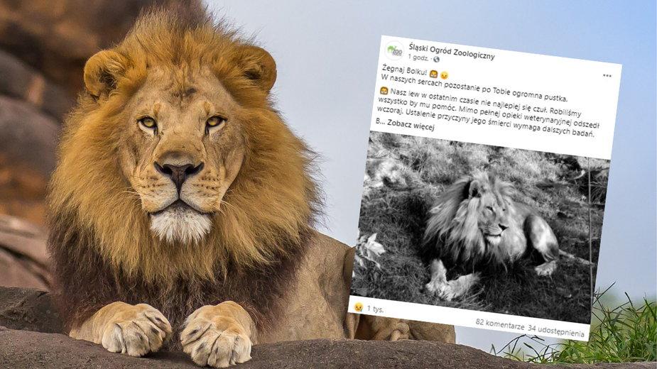 Odszedł 6-letni lew Bolek, mieszkaniec śląskiego zoo