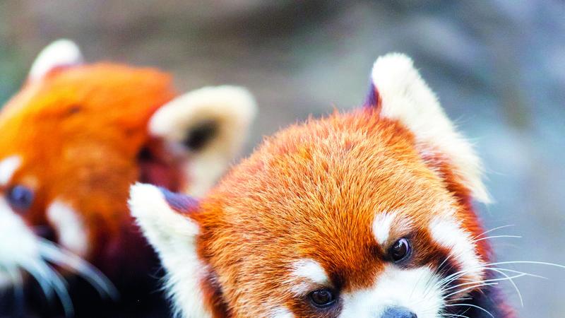 Panda társkereső