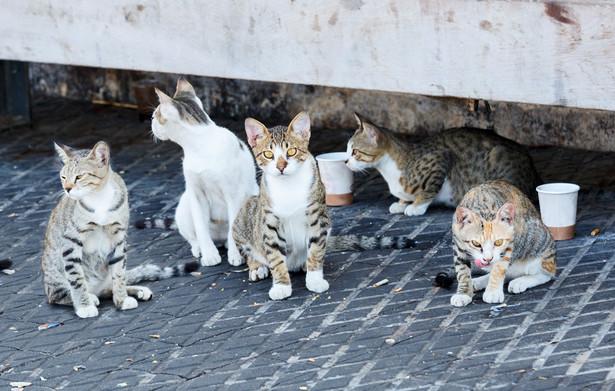 Koty miejskie nie powinny trafiać do schronisk dla bezdomnych zwierząt. Nie należy ich także na siłę oswajać i zabierać do mieszkań