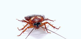 Sprawdzone sposoby na pozbycie się karaluchów