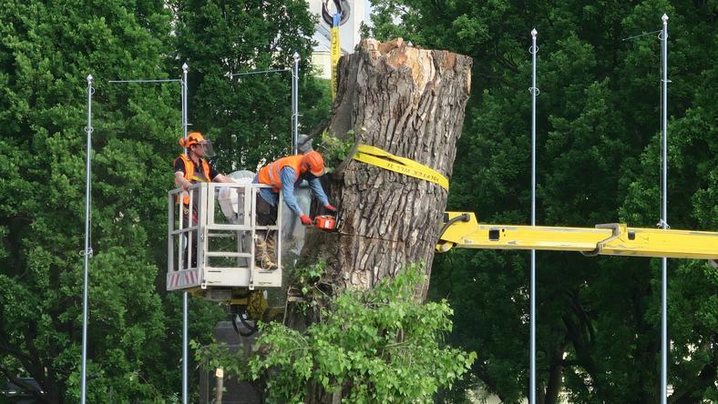 Słynny Baobab musiał zostać usunięty, bo zagrażał ludziom