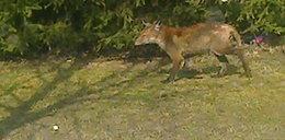 Uwaga! Dziki szakal w Olsztynie