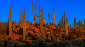 Park Narodowy Saguaro walczy ze złodziejami słynnych kaktusów