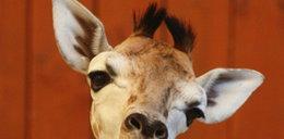 Same nieszczęścia z małą żyrafą w warszawskim zoo