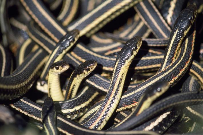 FG-7612 Red-sided Garter Snakes - in small den Thamnophis sirtalis parietalis Francois Gohier