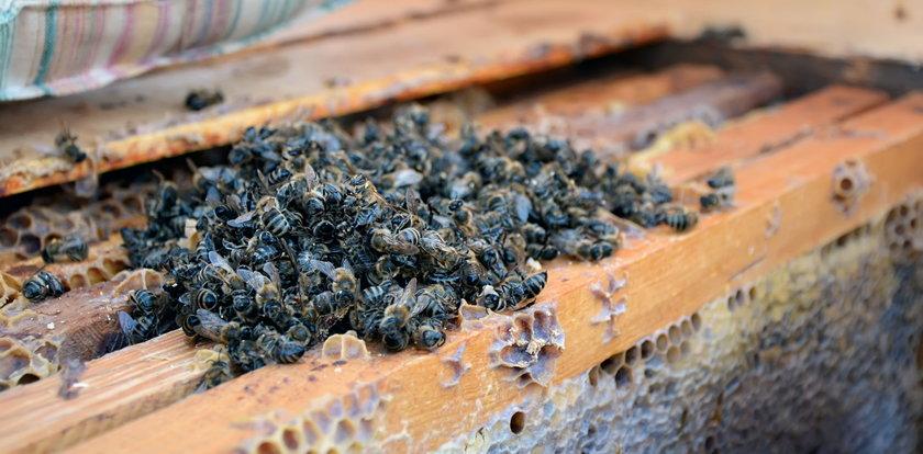 Pszczela hekatomba w Wielkopolsce. Martwe owady miały wysunięte języczki. To ważny trop
