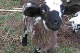 šatirano jagnje 1