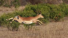 Impala uciekła gepardom prosto do… samochodu przejeżdżających turystów