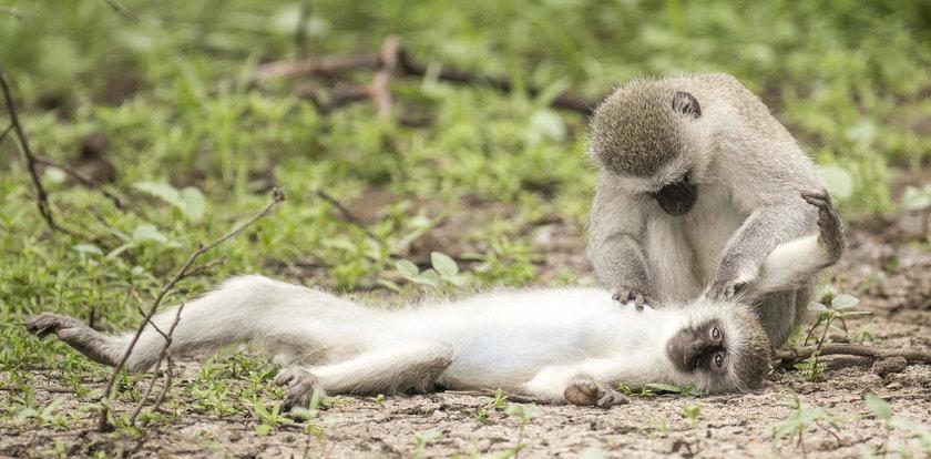 Małpy robią sobie usta-usta!