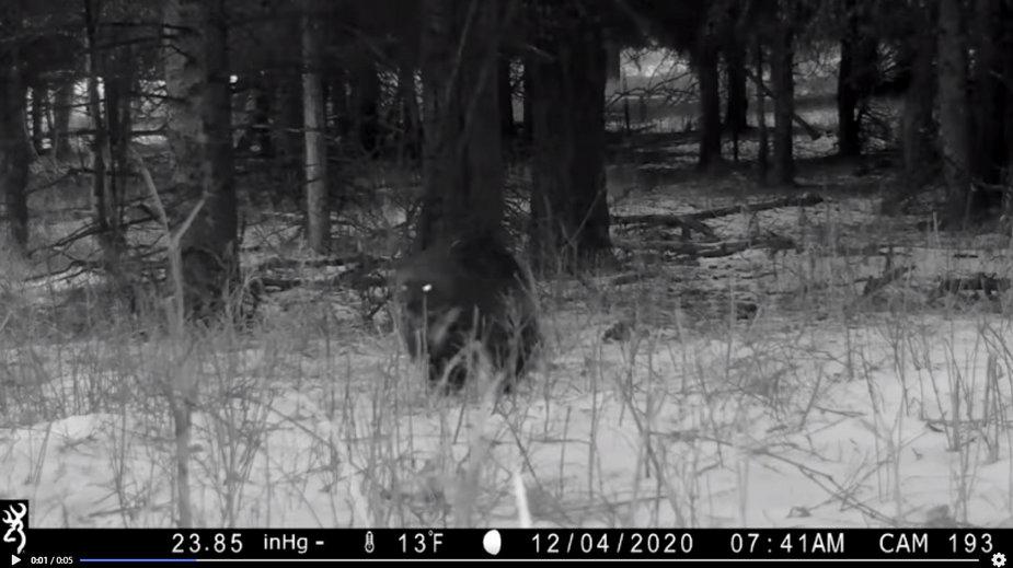 Kamera w parku Yellowstone nagrała rosomaka