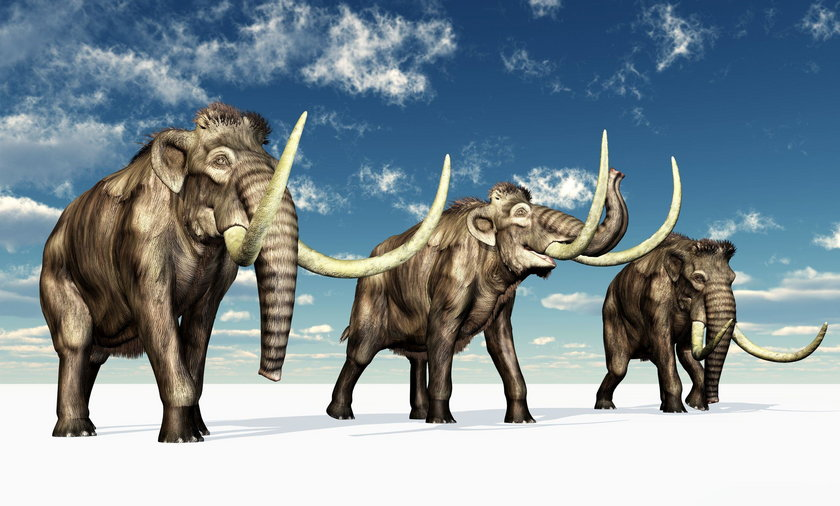 """Autorzy projektu naukowego """"Woolly Mammoth Revival"""" twierdzą, że w ciągu dwóch lat, dzięki rozwojowi inżynierii genetycznej, można będzie przywrócić do życia mamuty, a dokładniej: niby-mamuty będące hybrydami słonia i mamuta."""