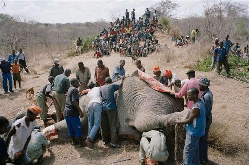 Tyle zostało ze słonia! Szokujące foty