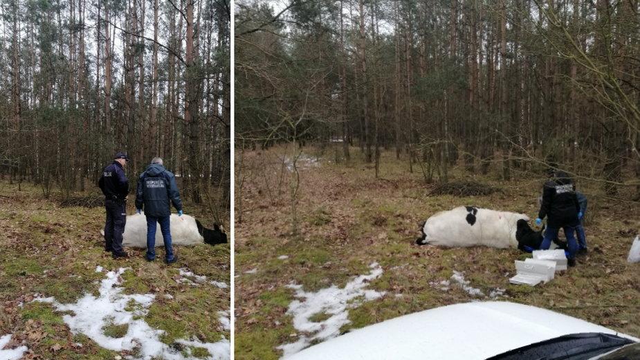 Agresywny byk prawdopodobnie zabił właściciela. Zwierzę odstrzelono