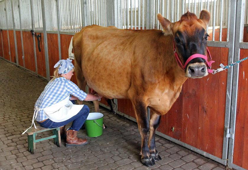 Uczyłam się z internetu jak doić krowę