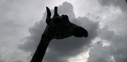 Nie żyje żyrafa z poznańskiego zoo. Winni odwiedzający?