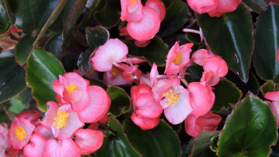 Begonia- E-lona/stock.adobe.com