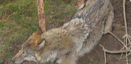 Myśliwi uwolnili wilka
