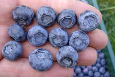 Uz pomoć zadruge postiže se bolja cena borovnice
