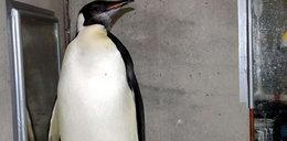 Zaginął słynny pingwin!