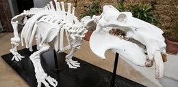Szkielet Hipolita atrakcją ogrodu zoologicznego