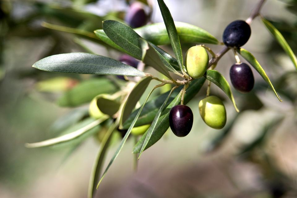 Liście oliwne – na zmęczenie i nie tylko