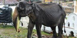 Szokujące zdjęcia słonia. Jak można do tego dopuścić?