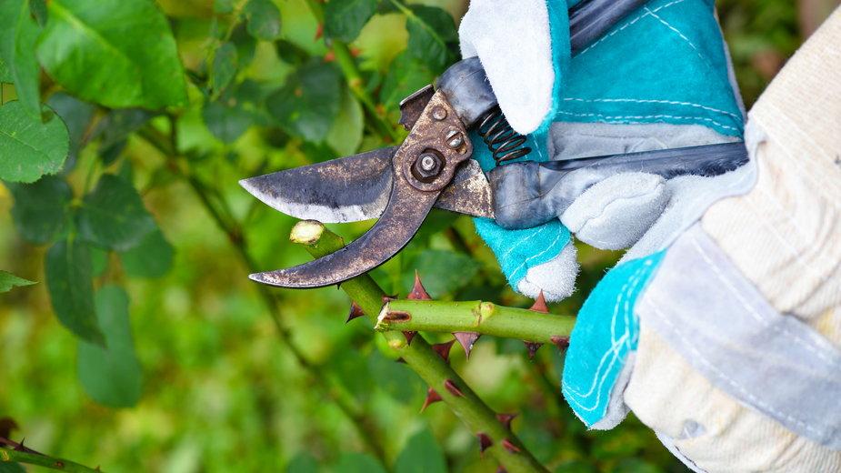 Podstawowe cięcie róż wykonujemy na wiosnę - nmelnychuk/stock.adobe.com