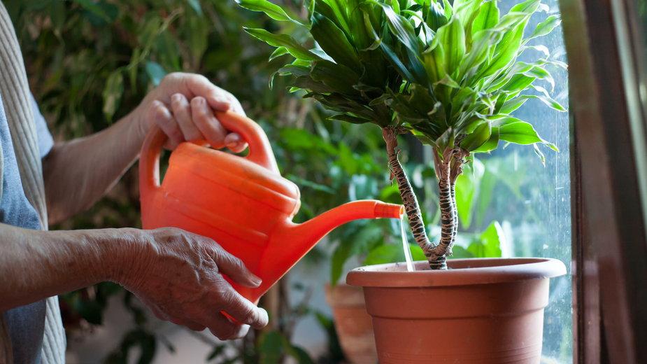 Jak podlewać rośliny w domu? Najważniejsze zasady