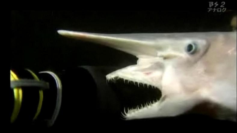 Myśleliście, że to żarłacz jest najgorszym rekinem?