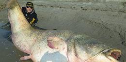Wędkarz złowił suma giganta. Ryba ważyła aż 127 kg!