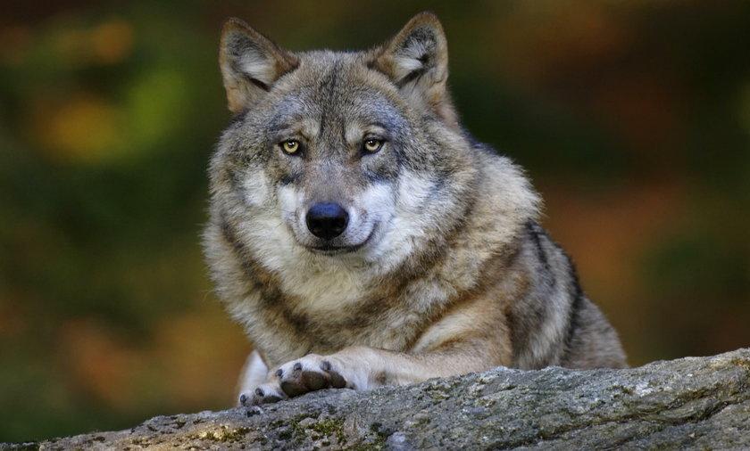Wilk zaatakował w Bieszczadach. Dwoje dzieci w szpitalu