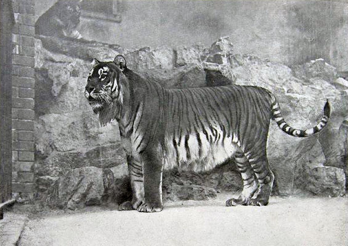 Tygrys w berlińskim zoo, zdjęcie z 1899 roku