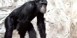 Szympans Patryk czeka na miłość!