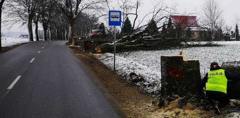 Policja szuka świadków rzezi przydrożnych drzew na Kaszubach. Ktoś zniszczył ich aż 30!