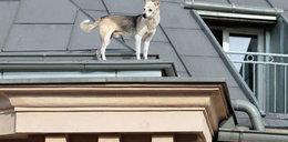 Pies alpinista. Zdobył dach trzypiętrowej kamienicy! FOTO